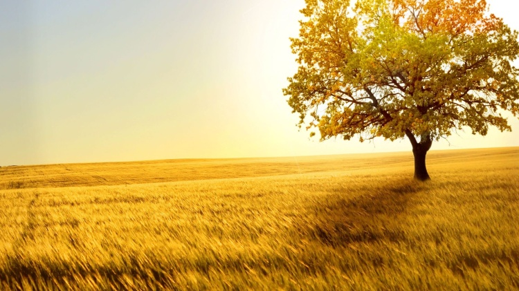 nature-golden-wheat-and-tree-backgrounds-wallpapers